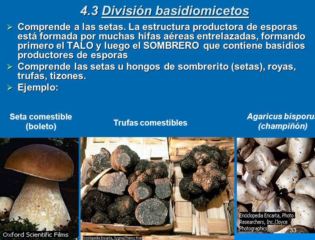 4.2 División ascomycetos Incluye las levaduras y algunos mohos. Se reproducen asexualmente. La levadura se reproduce asexaualmente por gemación. Inclu