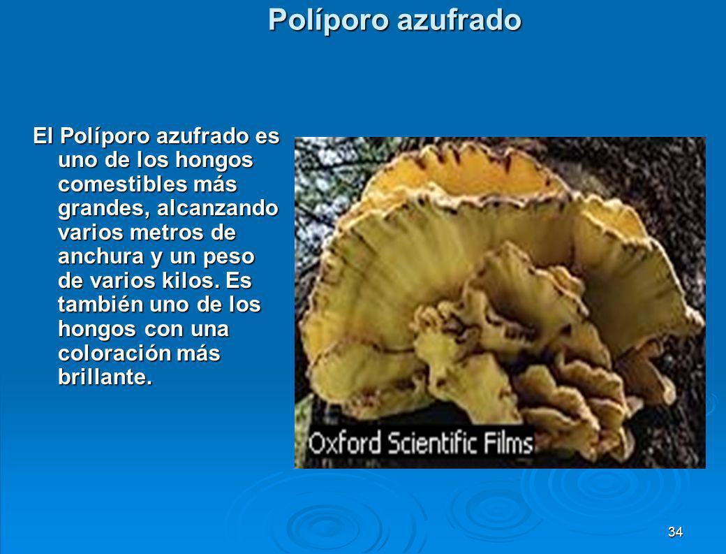 4.3 División basidiomicetos Comprende a las setas. La estructura productora de esporas está formada por muchas hifas aéreas entrelazadas, formando pri