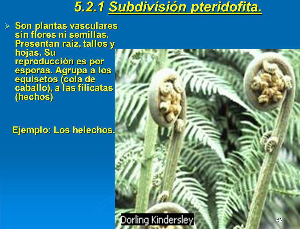 5.2 DIVISIÓN TRAQUEOFITAS Son plantas que presentan traqueas o vasos conductores que les permite distribuir a todo el cuerpo el agua y las sales absor