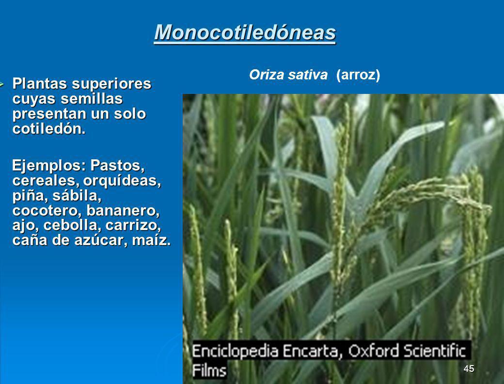 5.1.3 Subdivisión angiospermas o magnoliophyta. Plantas con flores y con semillas protegidas en el interior del fruto; las angiospermas por el número