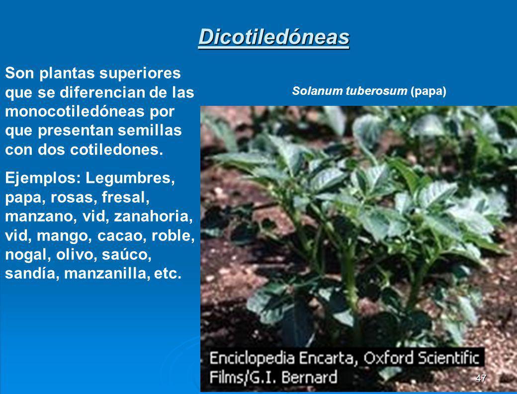 PRINCIPALES FAMILIAS FAMILIACARACTERÍSTICASEJEMPLOS Liliáceas Flores de simetría radial, presentan tépalos, fruto o baya Cebolla, ajo, azucena, espárr