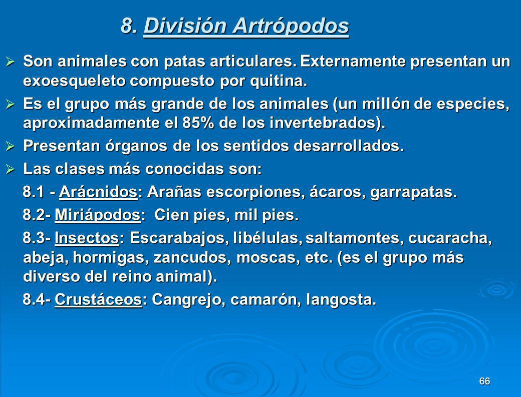 7. División Equinodermos Son animales marinos que se caracterizan por presentar su cuerpo cubierto por espinas y tentáculos. Son animales marinos que