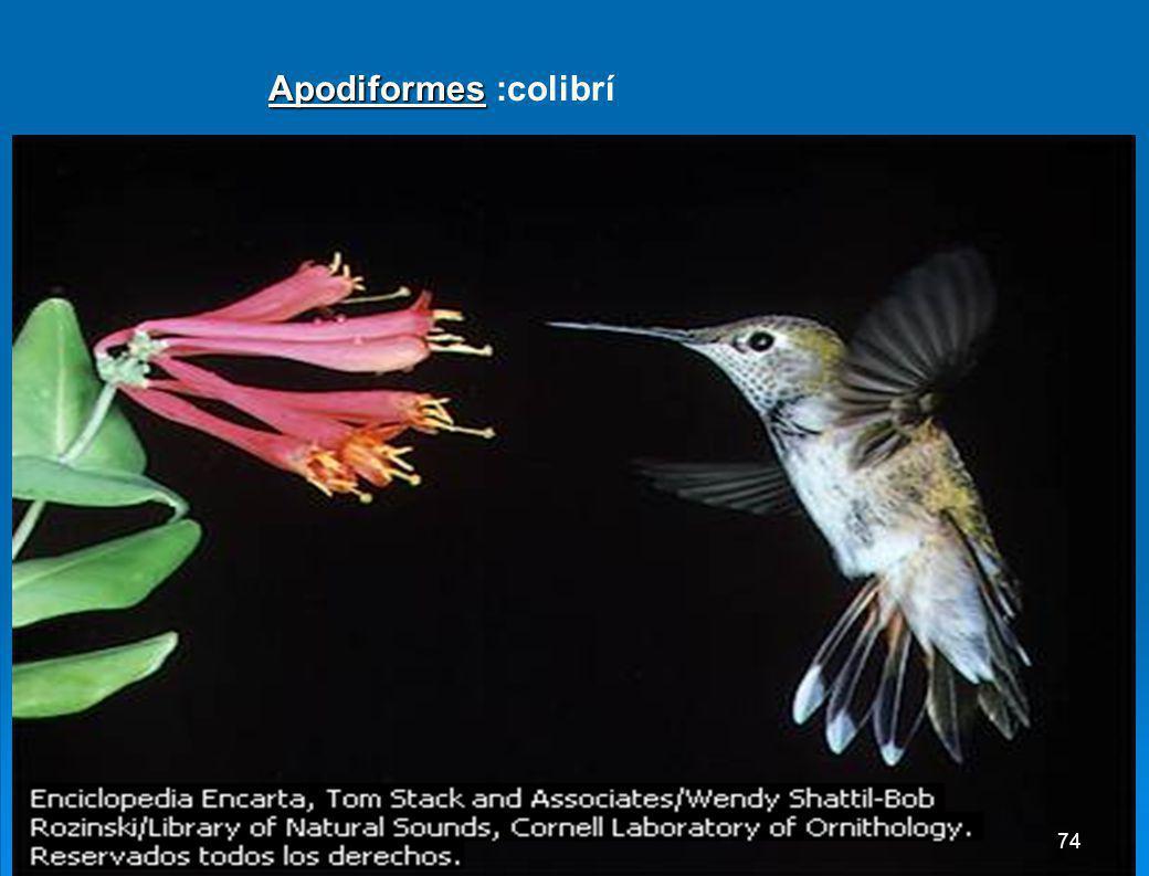 Anseriformes: Anseriformes: Pato real 73