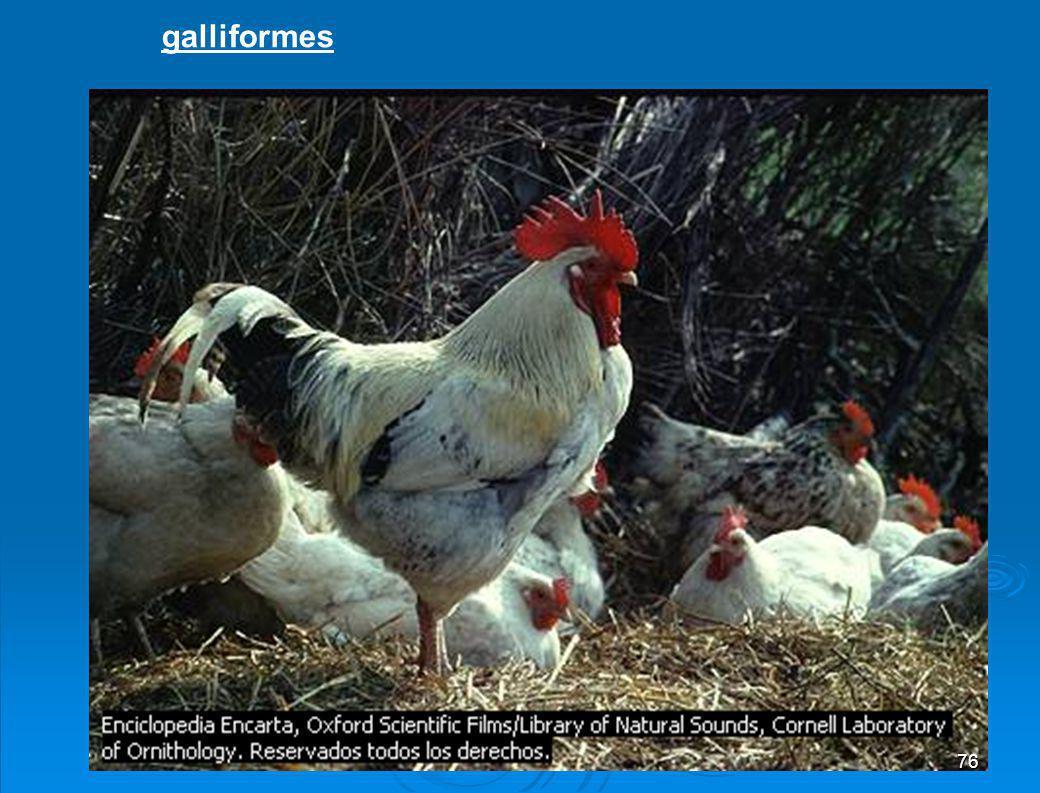 Columbiformes Columbiformes: Paloma migratoria 75