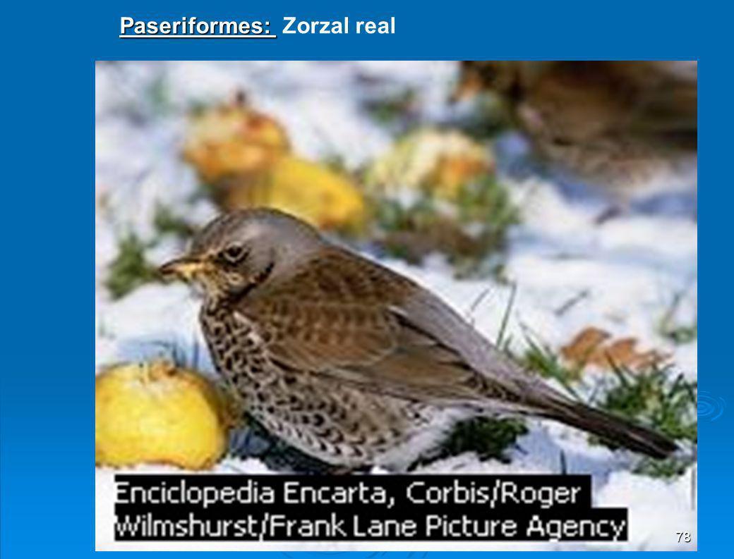 Falconiforme: Águila cogiendo su presa 77