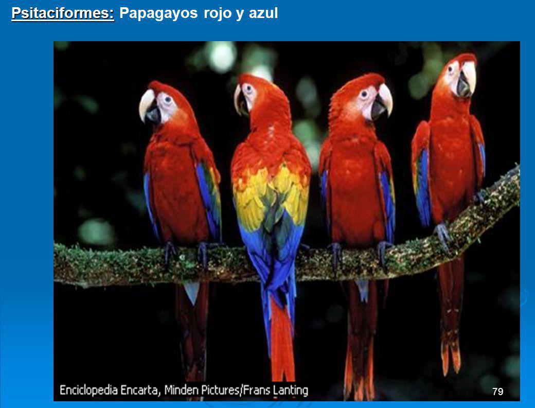 Paseriformes: Paseriformes: Zorzal real 78