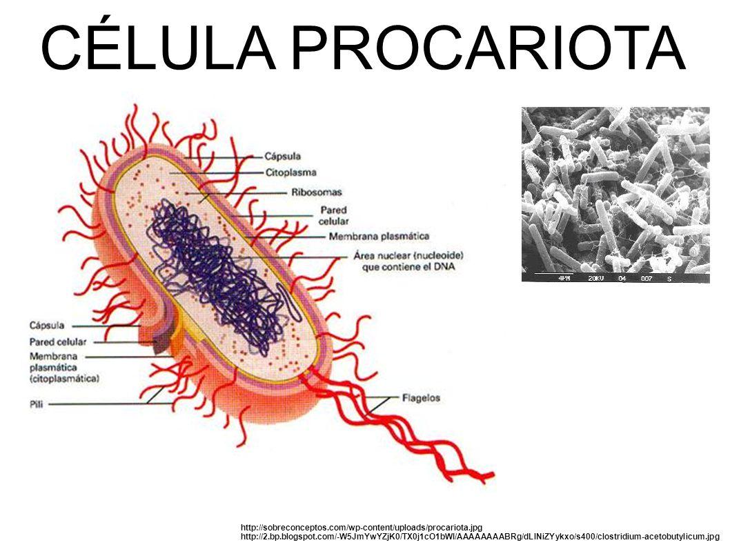 CÉLULA PROCARIOTA http://sobreconceptos.com/wp-content/uploads/procariota.jpg http://2.bp.blogspot.com/-W5JmYwYZjK0/TX0j1cO1bWI/AAAAAAAABRg/dLlNiZYykxo/s400/clostridium-acetobutylicum.jpg
