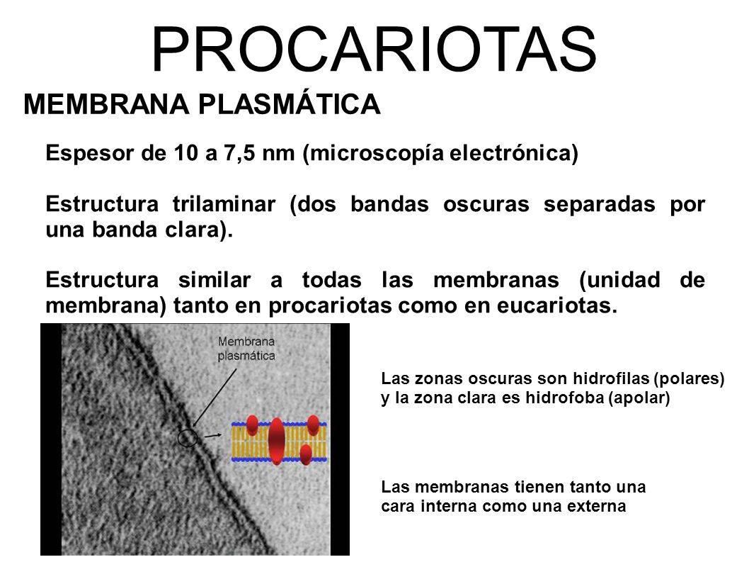 PROCARIOTAS MEMBRANA PLASMÁTICA Espesor de 10 a 7,5 nm (microscopía electrónica) Estructura trilaminar (dos bandas oscuras separadas por una banda clara).