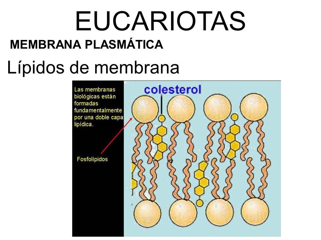 Lípidos de membrana EUCARIOTAS MEMBRANA PLASMÁTICA
