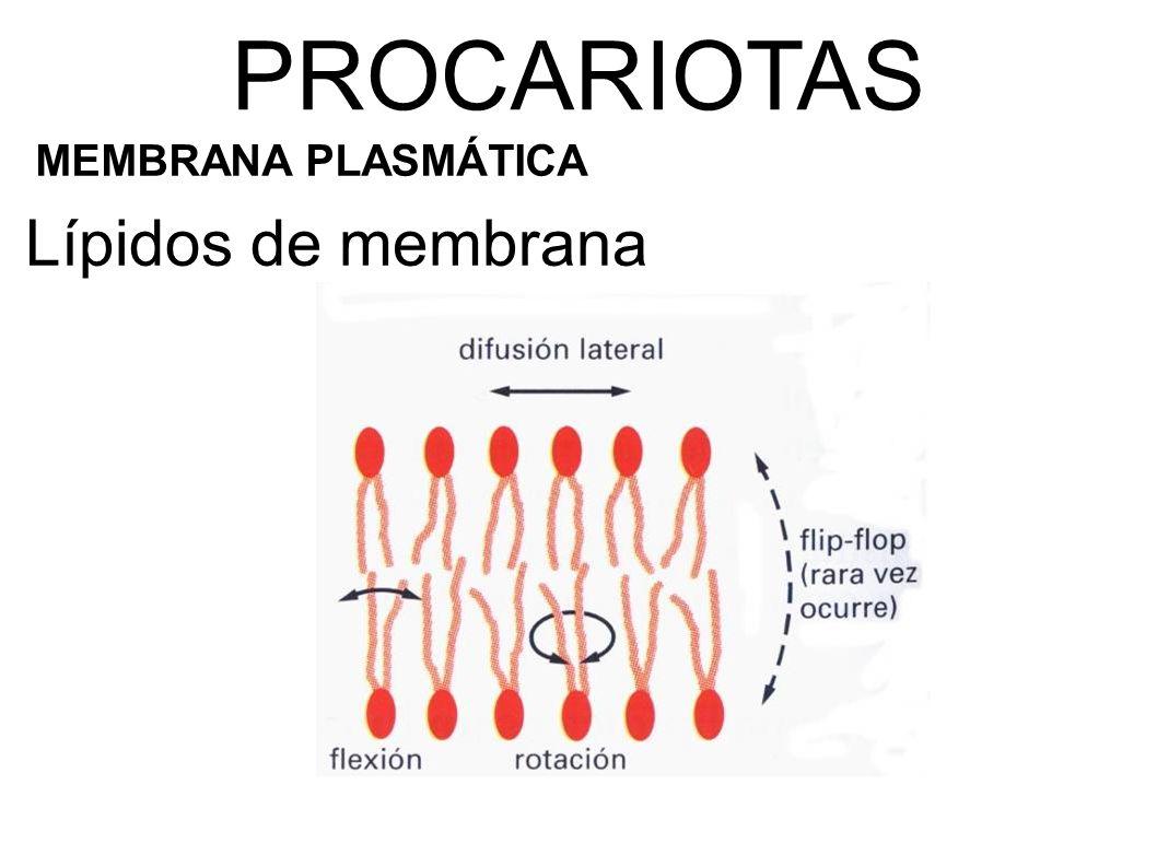 Lípidos de membrana PROCARIOTAS MEMBRANA PLASMÁTICA