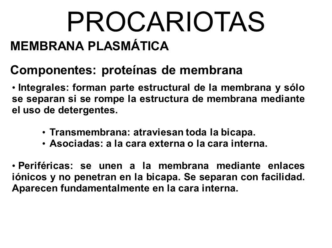 PROCARIOTAS MEMBRANA PLASMÁTICA Componentes: proteínas de membrana Integrales: forman parte estructural de la membrana y sólo se separan si se rompe la estructura de membrana mediante el uso de detergentes.