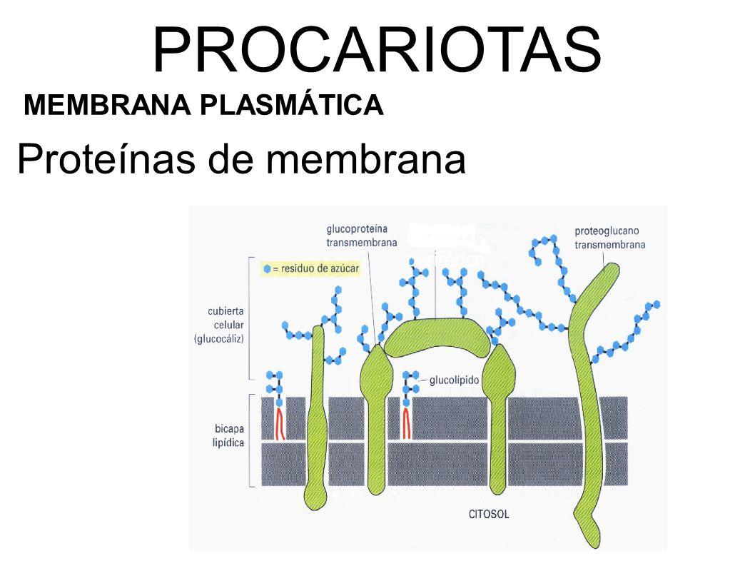 Proteína periférica Proteínas de membrana PROCARIOTAS MEMBRANA PLASMÁTICA