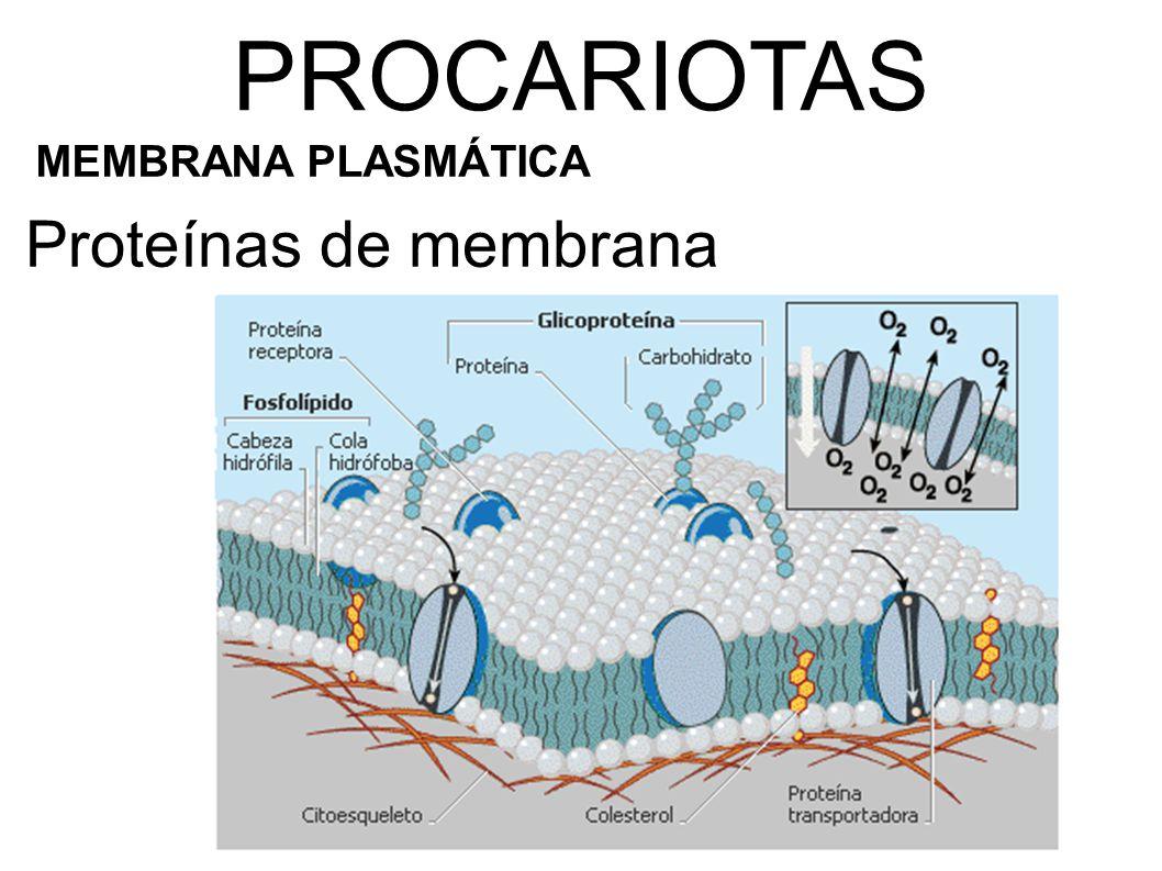 Proteínas de membrana PROCARIOTAS MEMBRANA PLASMÁTICA