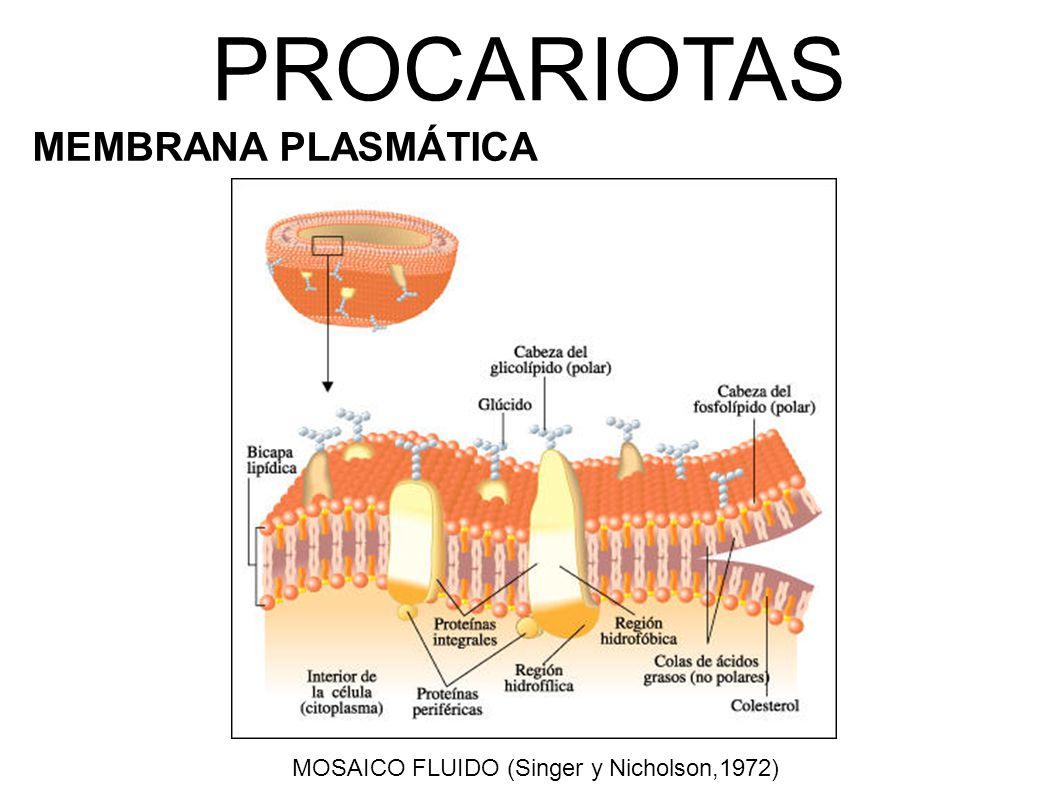 PROCARIOTAS MEMBRANA PLASMÁTICA MOSAICO FLUIDO (Singer y Nicholson,1972)
