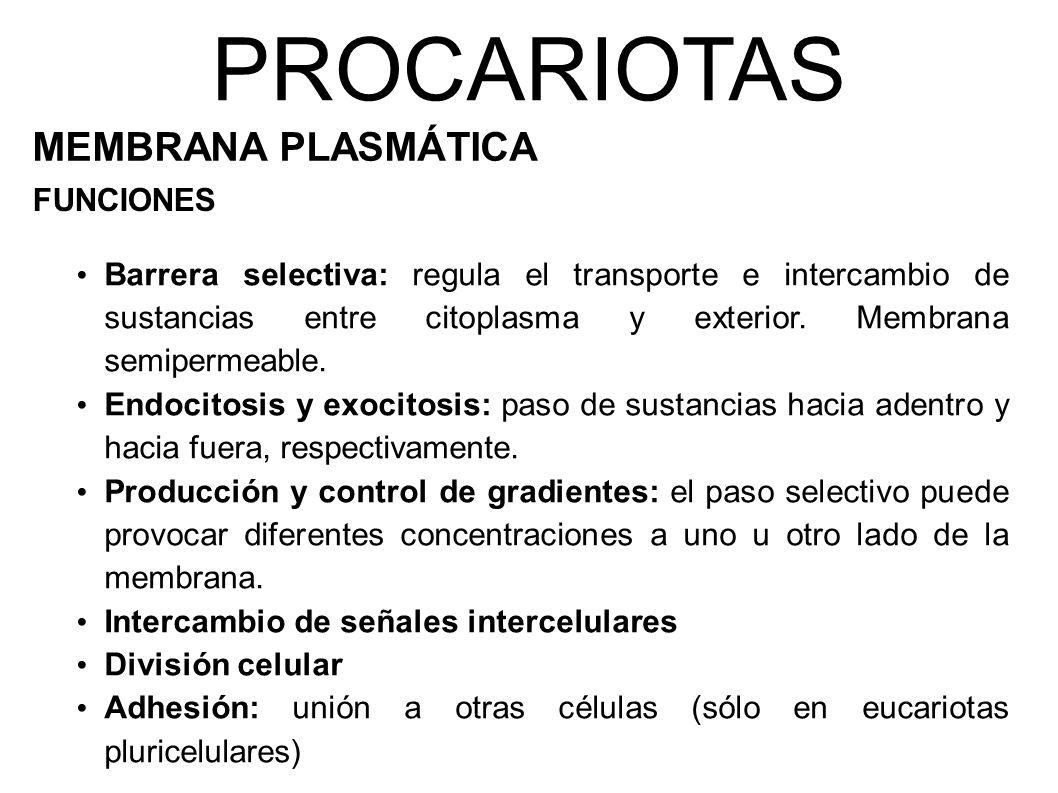 PROCARIOTAS MEMBRANA PLASMÁTICA FUNCIONES Barrera selectiva: regula el transporte e intercambio de sustancias entre citoplasma y exterior.