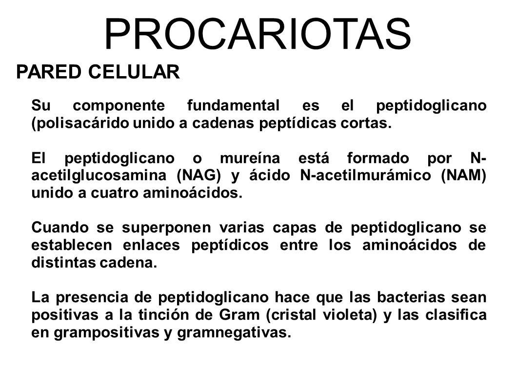 PROCARIOTAS PARED CELULAR Su componente fundamental es el peptidoglicano (polisacárido unido a cadenas peptídicas cortas.