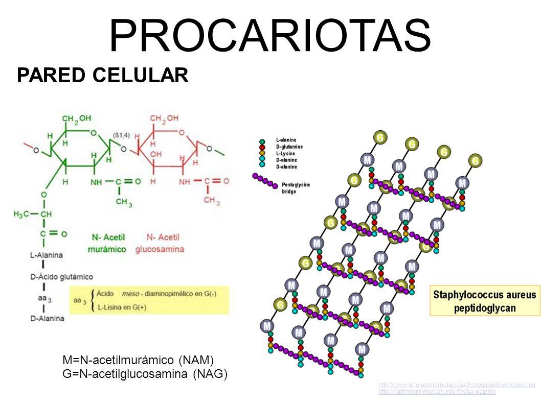 PROCARIOTAS PARED CELULAR http://www.ehu.es/biomoleculas/hc/jpg/peptidoglicano.jpg http://pathmicro.med.sc.edu/fox/sa-pep.jpg M=N-acetilmurámico (NAM) G=N-acetilglucosamina (NAG)