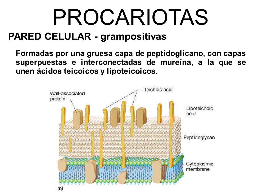 PROCARIOTAS PARED CELULAR - grampositivas Formadas por una gruesa capa de peptidoglicano, con capas superpuestas e interconectadas de mureína, a la que se unen ácidos teicoicos y lipoteicoicos.