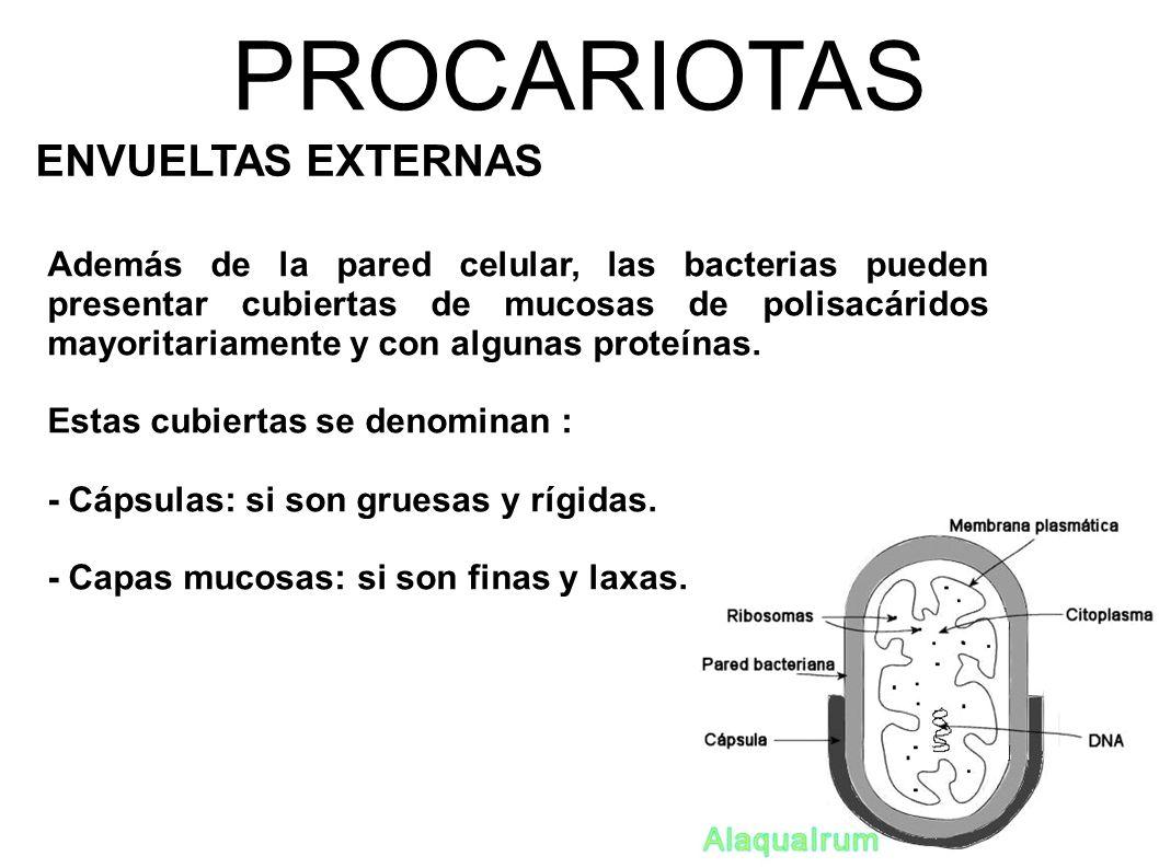 PROCARIOTAS ENVUELTAS EXTERNAS Además de la pared celular, las bacterias pueden presentar cubiertas de mucosas de polisacáridos mayoritariamente y con algunas proteínas.