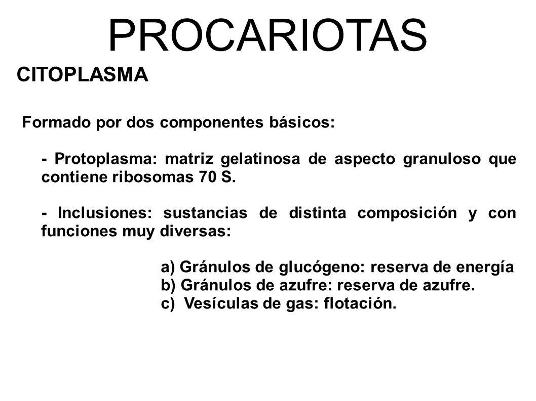 PROCARIOTAS CITOPLASMA Formado por dos componentes básicos: - Protoplasma: matriz gelatinosa de aspecto granuloso que contiene ribosomas 70 S.