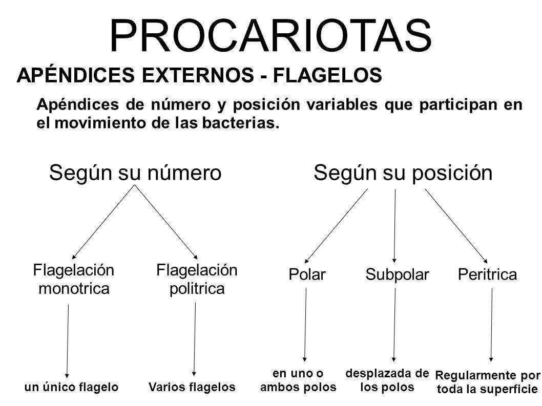 PROCARIOTAS APÉNDICES EXTERNOS - FLAGELOS Apéndices de número y posición variables que participan en el movimiento de las bacterias.