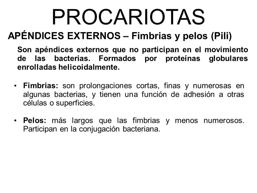 PROCARIOTAS APÉNDICES EXTERNOS – Fimbrias y pelos (Pili) Son apéndices externos que no participan en el movimiento de las bacterias.