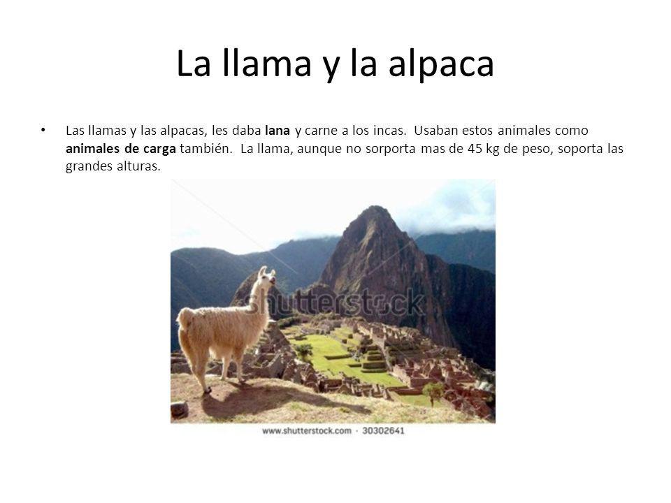La llama y la alpaca Las llamas y las alpacas, les daba lana y carne a los incas. Usaban estos animales como animales de carga también. La llama, aunq