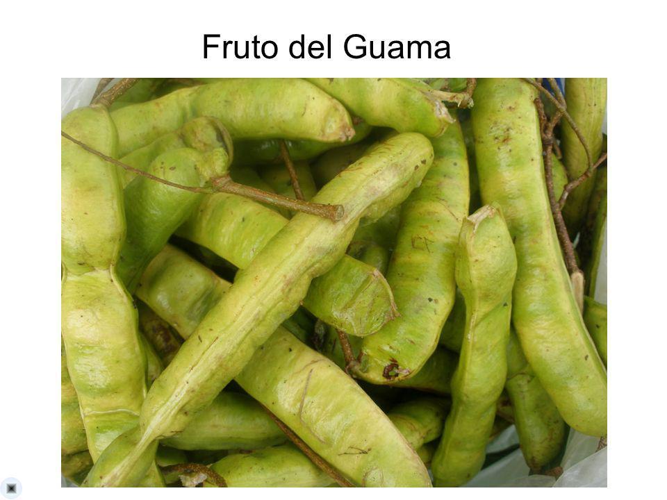 Fruto del Guama