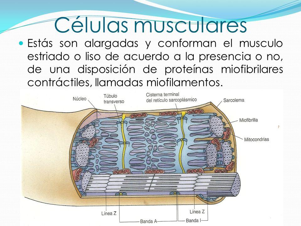 Increíble Células Musculares Galería - Imágenes de Anatomía Humana ...