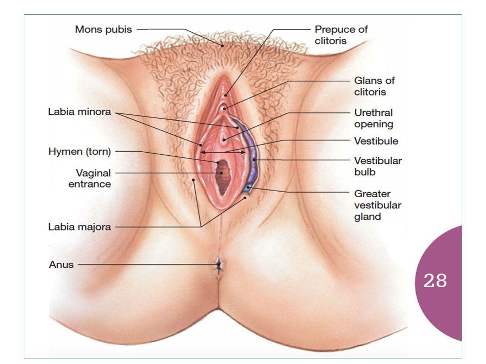 Magnífico Anatomía Vaginal Externa Elaboración - Anatomía de Las ...