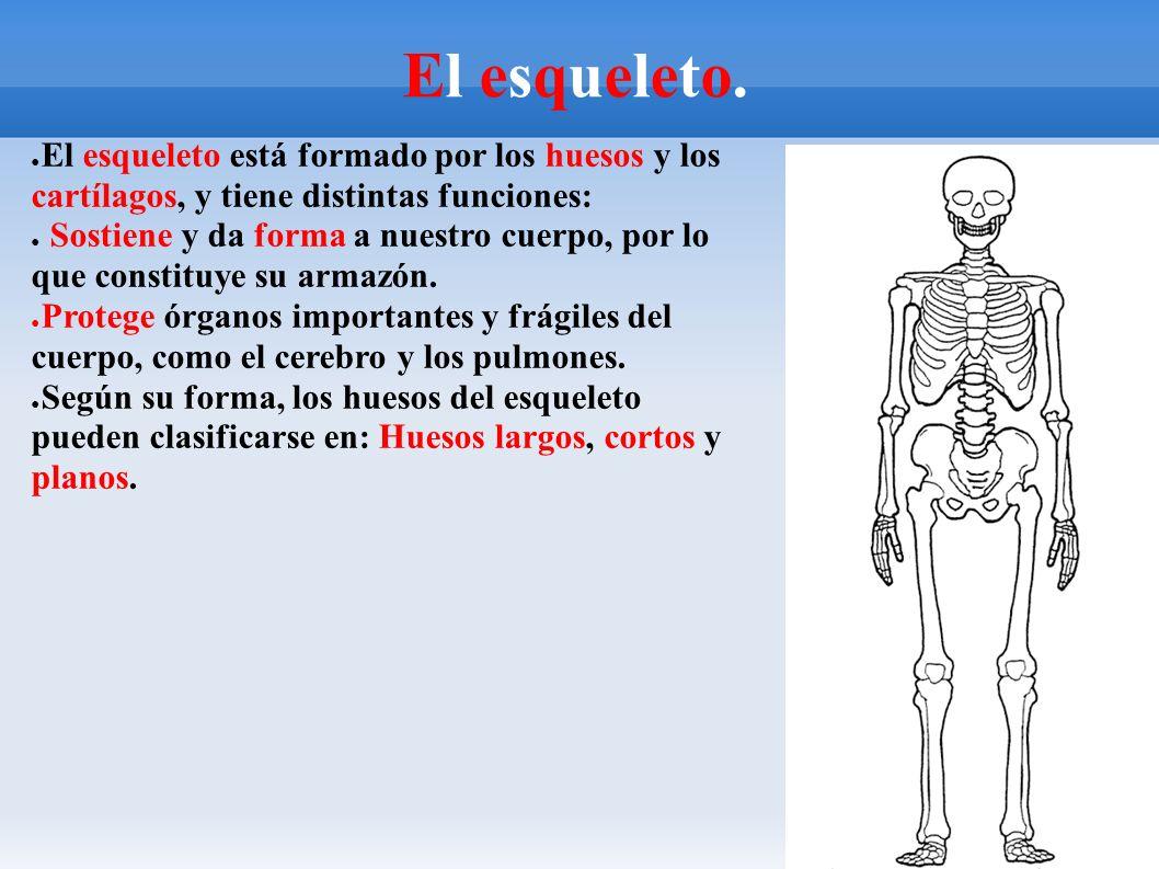 El Aparato Locomotor. La musculatura y el esqueleto. ○ Irene Amad0r ...