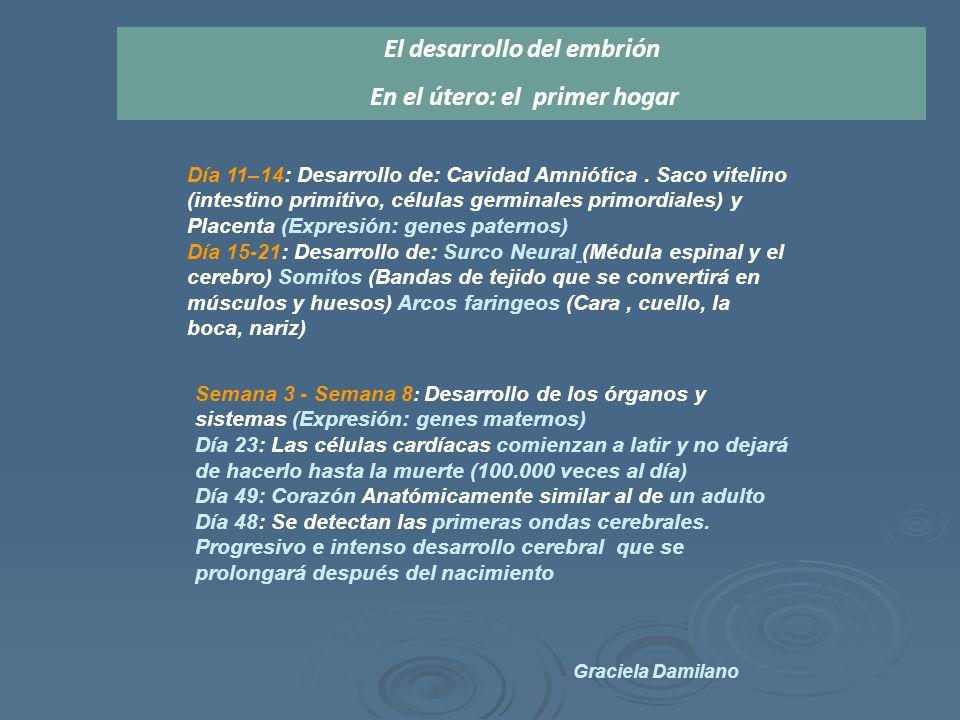 El desarrollo del embrión En el útero: el primer hogar Día 11–14: Desarrollo de: Cavidad Amniótica.