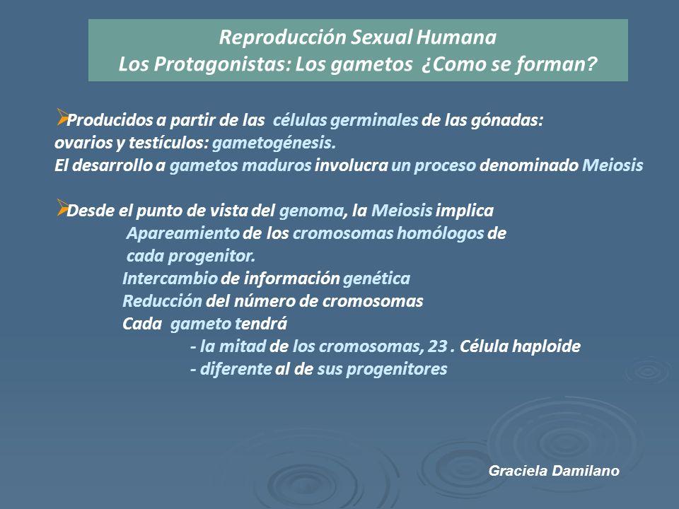  Producidos a partir de las células germinales de las gónadas: ovarios y testículos: gametogénesis.