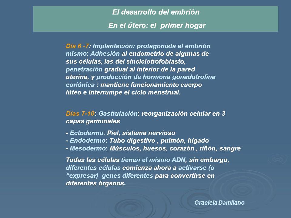 Día 6 -7: Implantación: protagonista al embrión mismo: Adhesión al endometrio de algunas de sus células, las del sinciciotrofoblasto, penetración gradual al interior de la pared uterina, y producción de hormona gonadotrofina coriónica : mantiene funcionamiento cuerpo lúteo e interrumpe el ciclo menstrual.