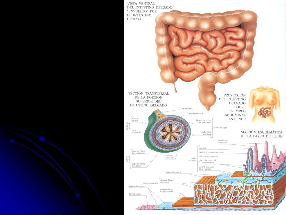 Hermosa Rata Intestino Anatomía Elaboración - Imágenes de Anatomía ...