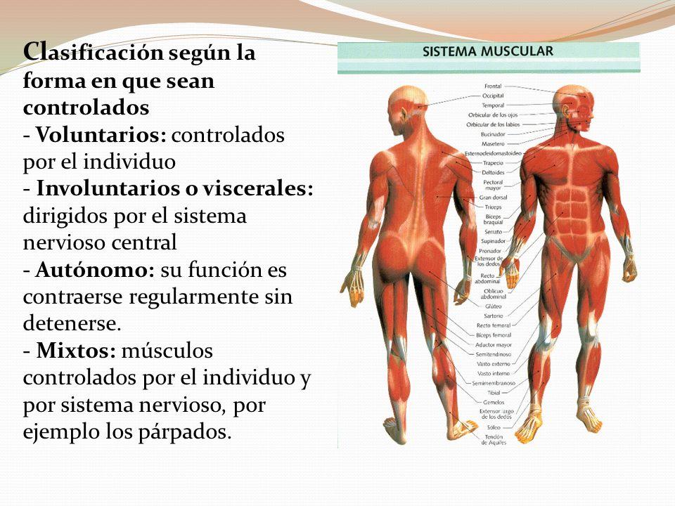 Dorable Músculos Viscerales Elaboración - Anatomía de Las ...