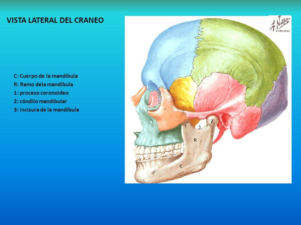 Magnífico Anatomía De La Mandíbula Y El Maxilar Foto - Imágenes de ...