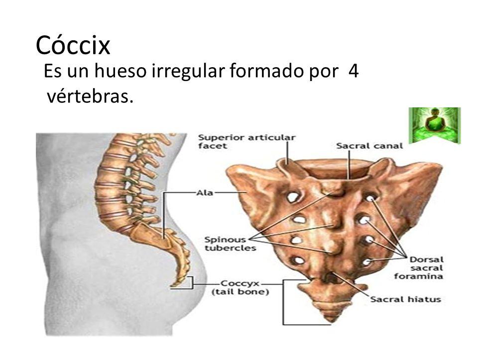 Magnífico Coxis Huesos Bosquejo - Anatomía de Las Imágenesdel Cuerpo ...