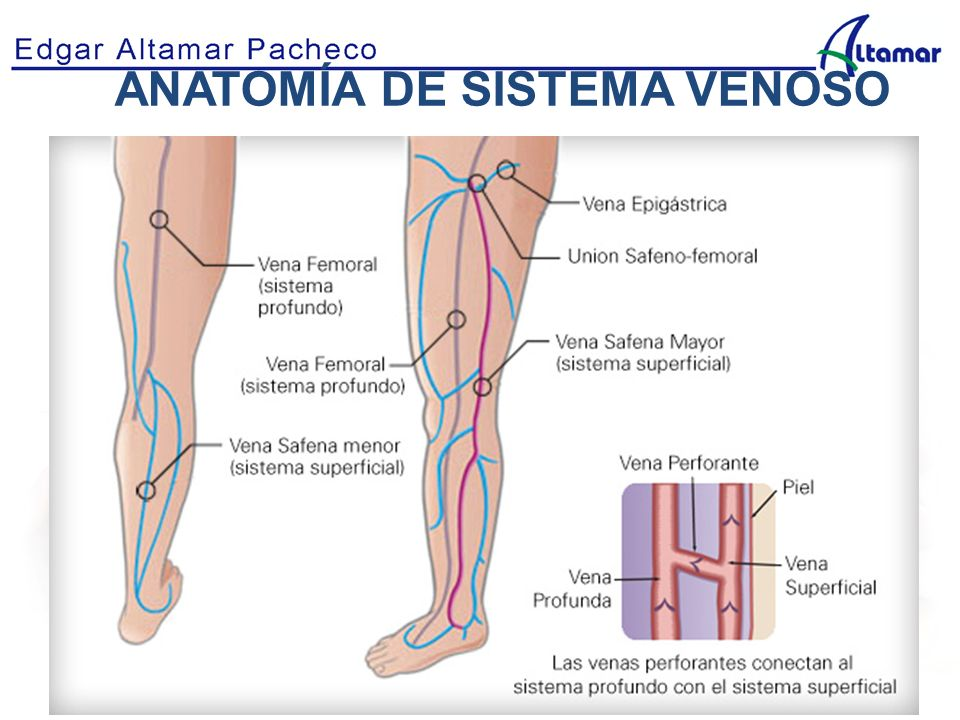 Excelente La Anatomía De La Vena Safena Ilustración - Imágenes de ...