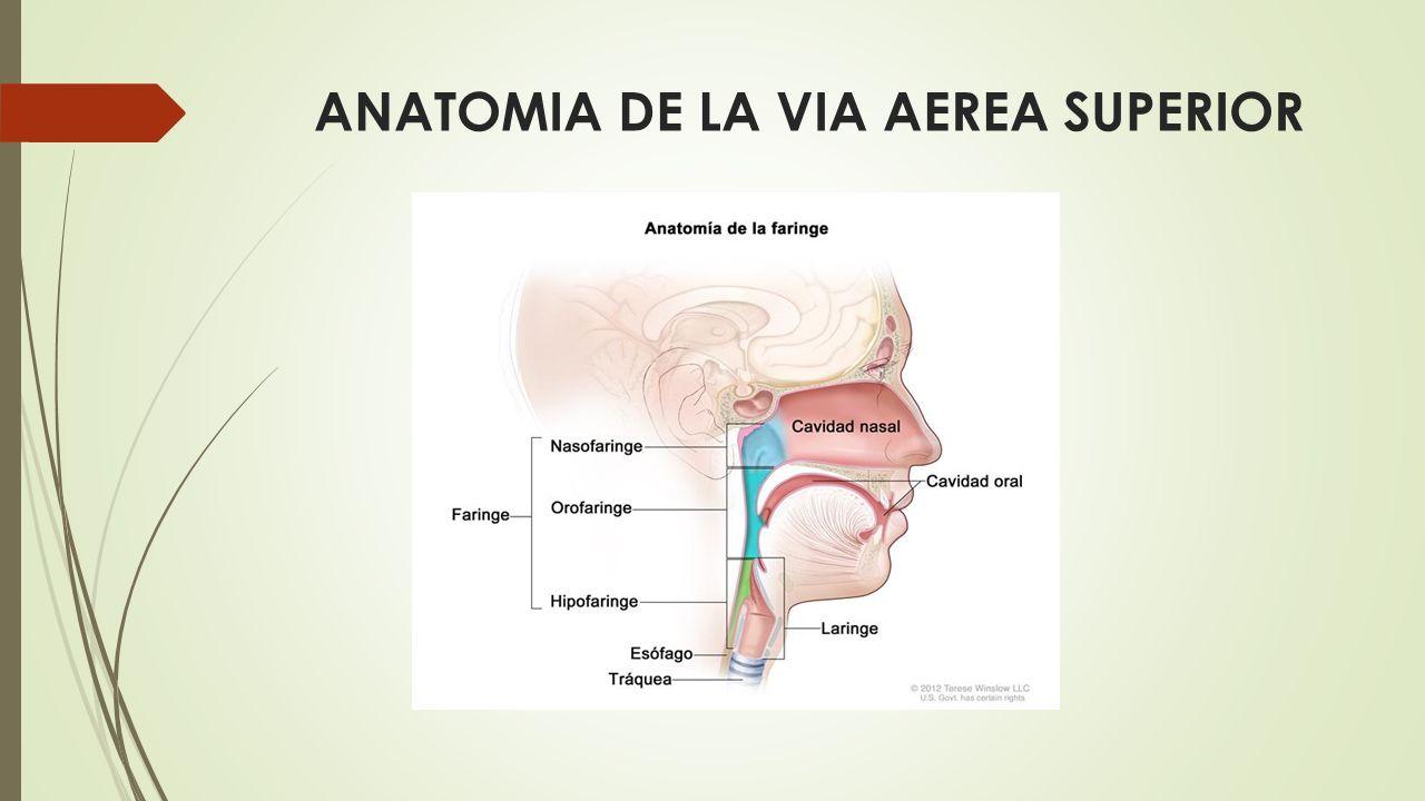 Magnífico Anatomía De La Vía Aérea Pediátrica Inspiración - Anatomía ...
