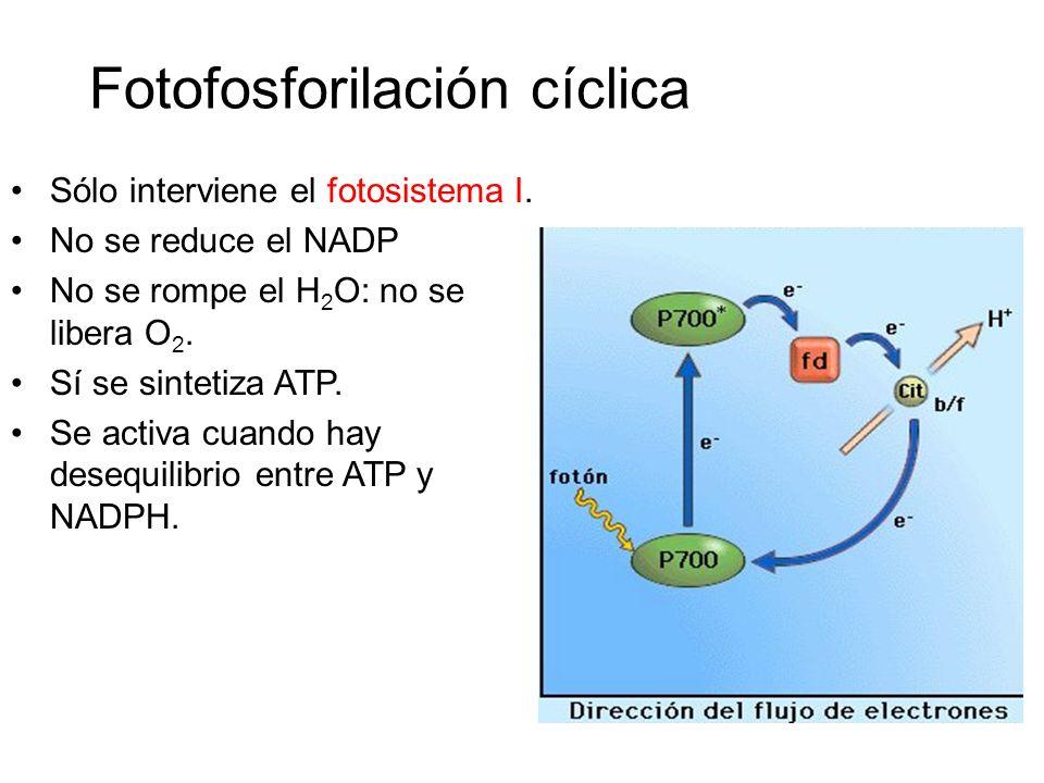 En la fotofosforilacion ciclica se sintetiza