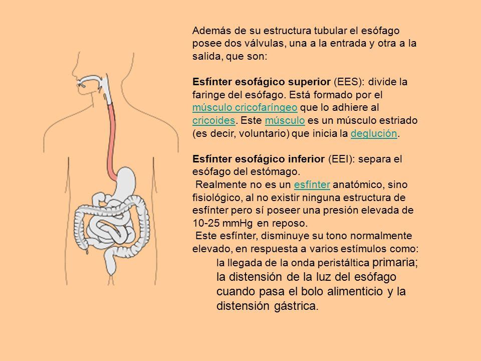 Increíble Esfínter Del Estómago Composición - Imágenes de Anatomía ...