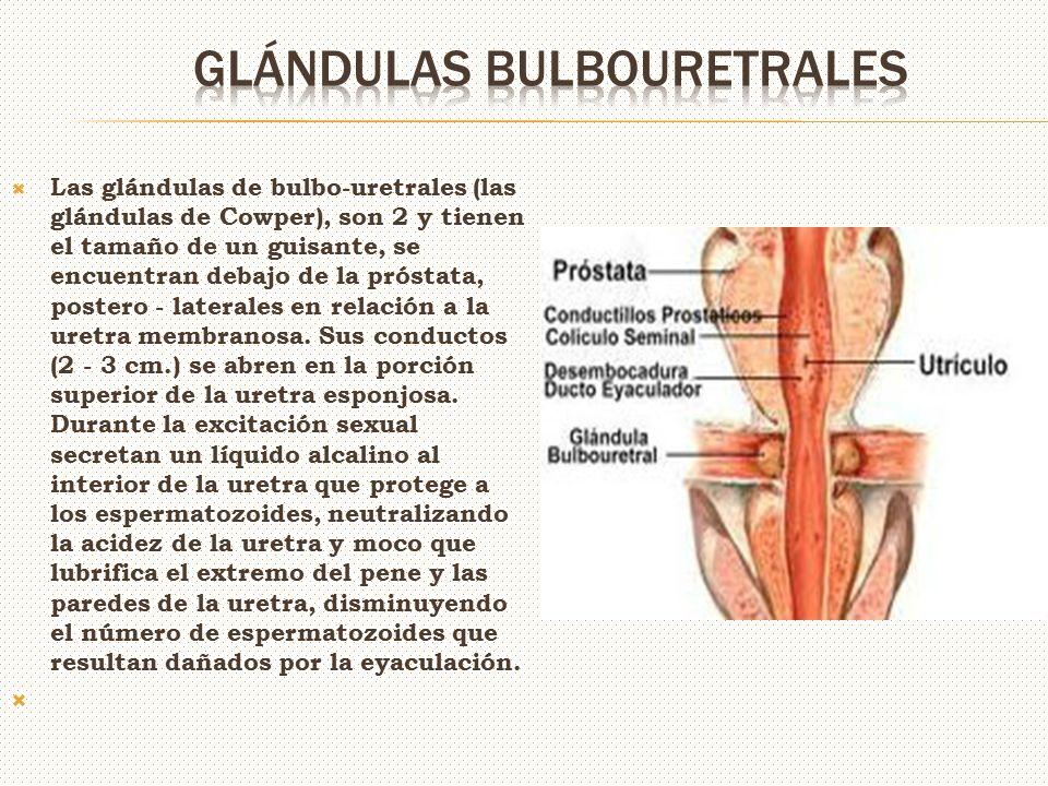 Encantador Función De La Glándula De La Próstata Elaboración ...