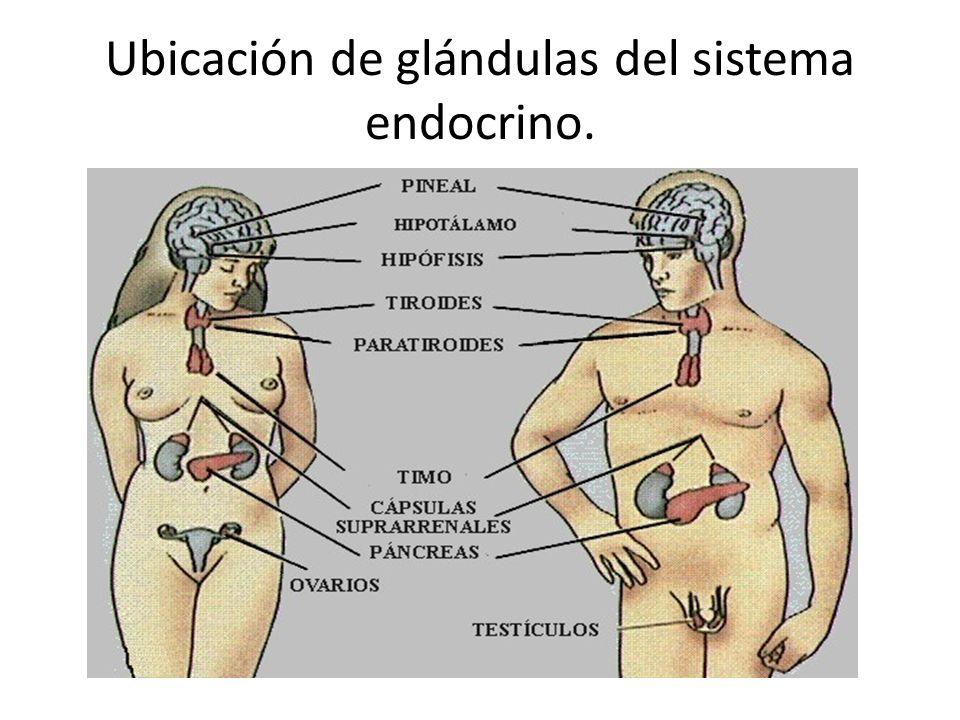Sistema endocrino ¿Qué es? Es un sistema formado por varios órganos ...
