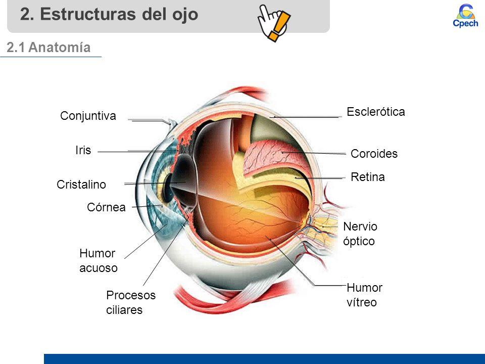 Lujoso Anatomía Del Ojo Conjuntiva Ornamento - Imágenes de Anatomía ...