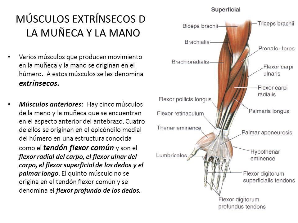 Atractivo Muñeca Anatomía Muscular Bandera - Anatomía de Las ...