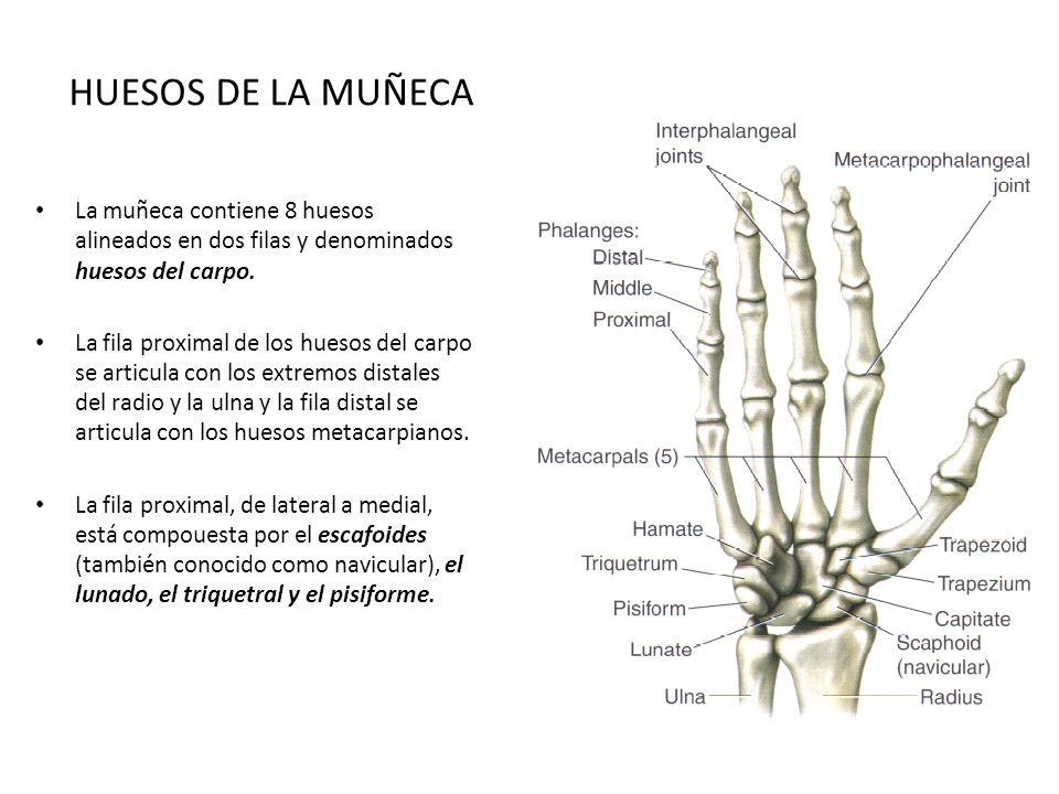 Único Huesos De La Muñeca Bosquejo - Anatomía de Las Imágenesdel ...