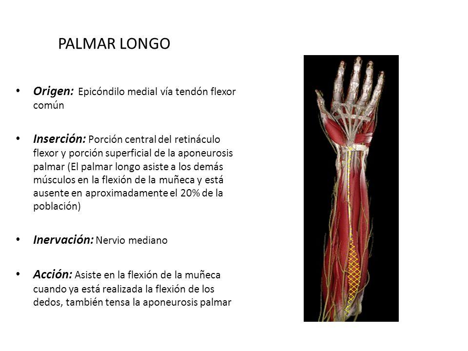 Lujoso La Anatomía De La Muñeca Galería - Anatomía de Las ...
