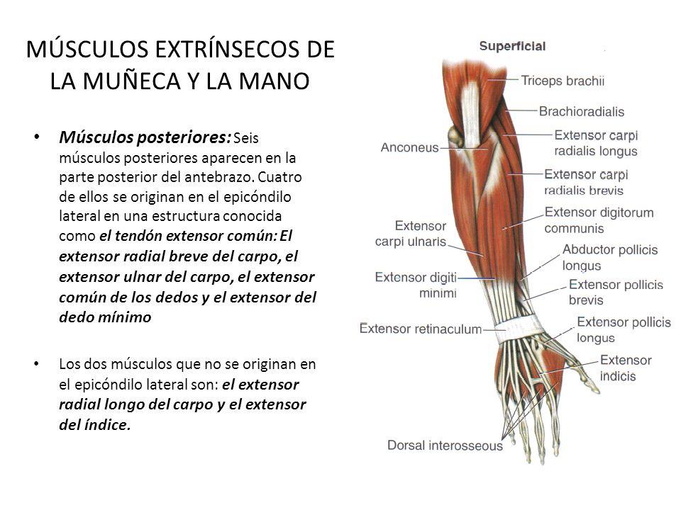 Lujoso Anatomía Del Antebrazo Y La Mano Friso - Anatomía de Las ...