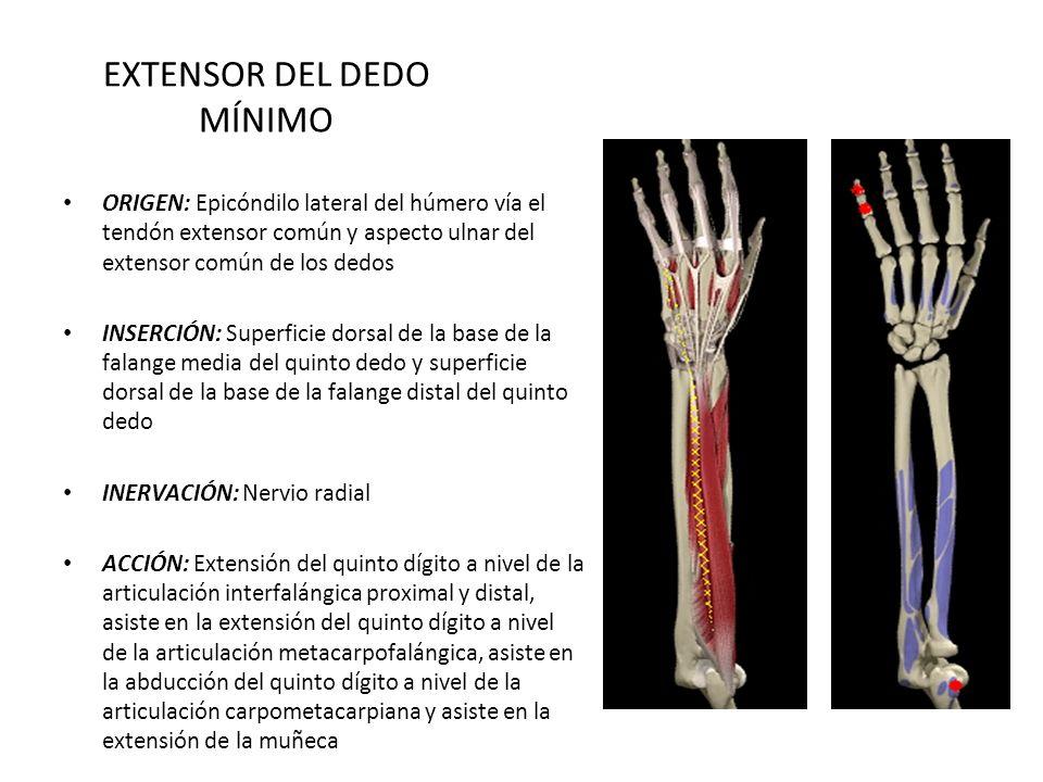 Moderno Anatomía De Los Dedos Dígitos Imagen - Anatomía de Las ...